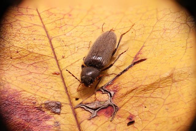 hmyz červotoč