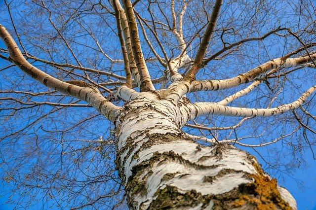 strom břízy